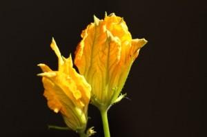fior di zucca (zucchini flower)